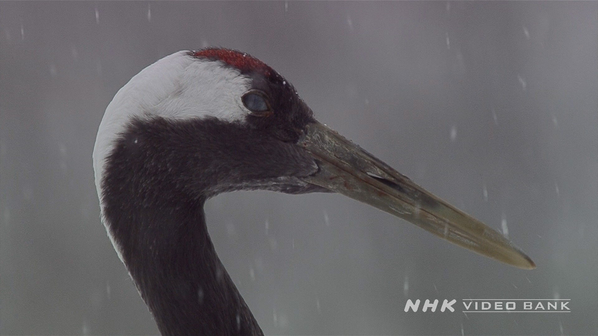 Slow-motion of Red-crested cranes