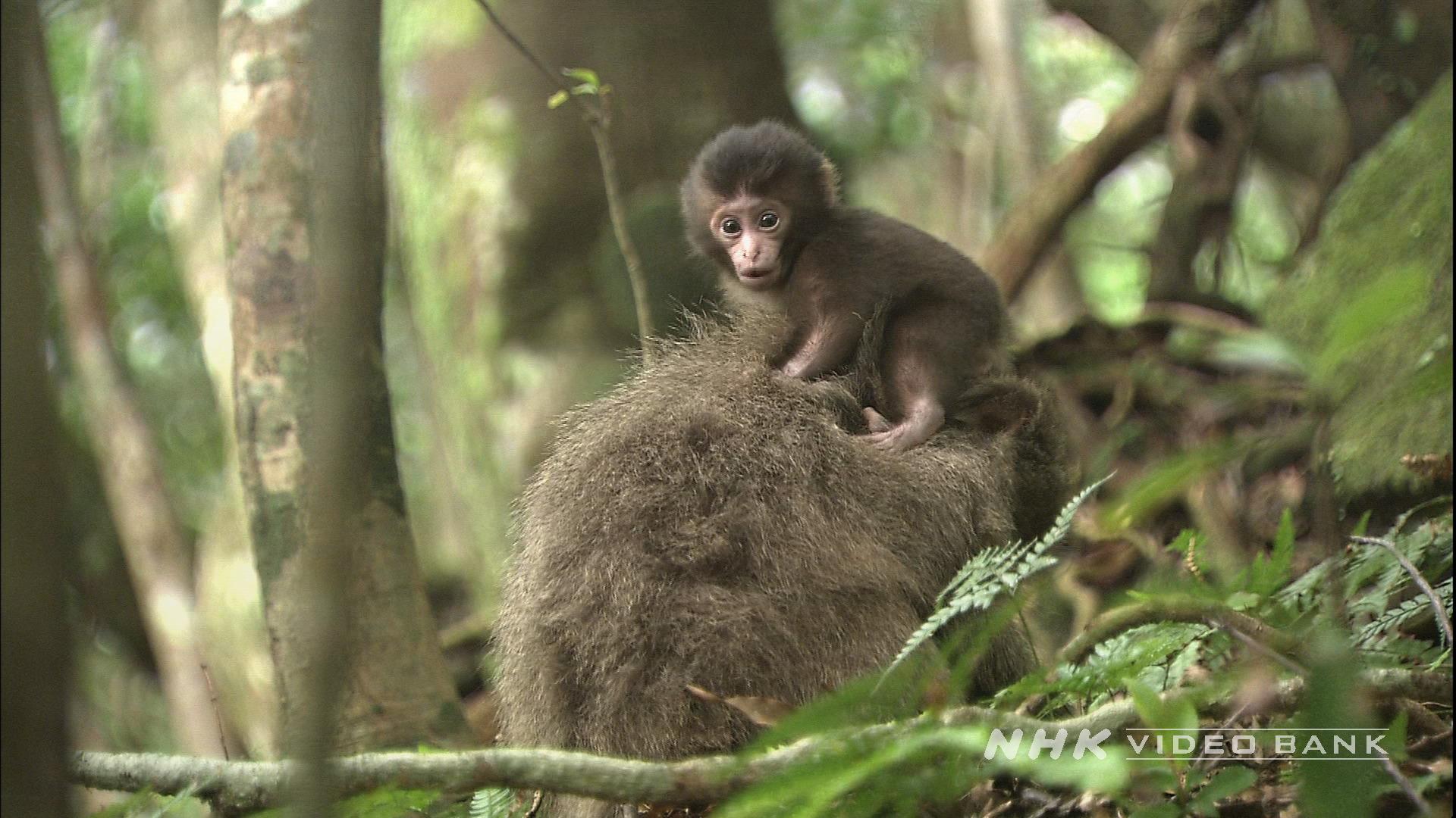 UNESCO World Heritage: Wildlife, Yakushima island
