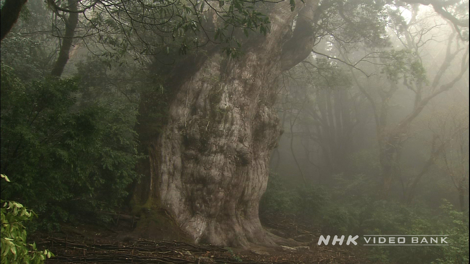 "UNESCO World Heritage: ""It rains 35 days per month in Yakushima island"""