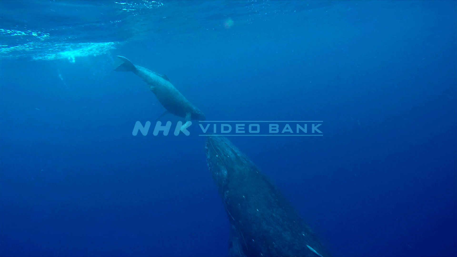 Underwater: humpback whale, the bond between mother and child