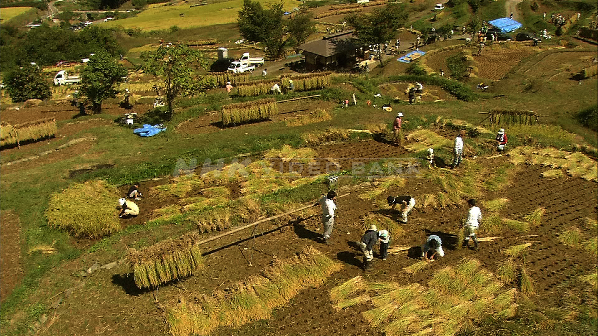 Crane shot: harvesting rice at the terraced rice paddies in Nagano