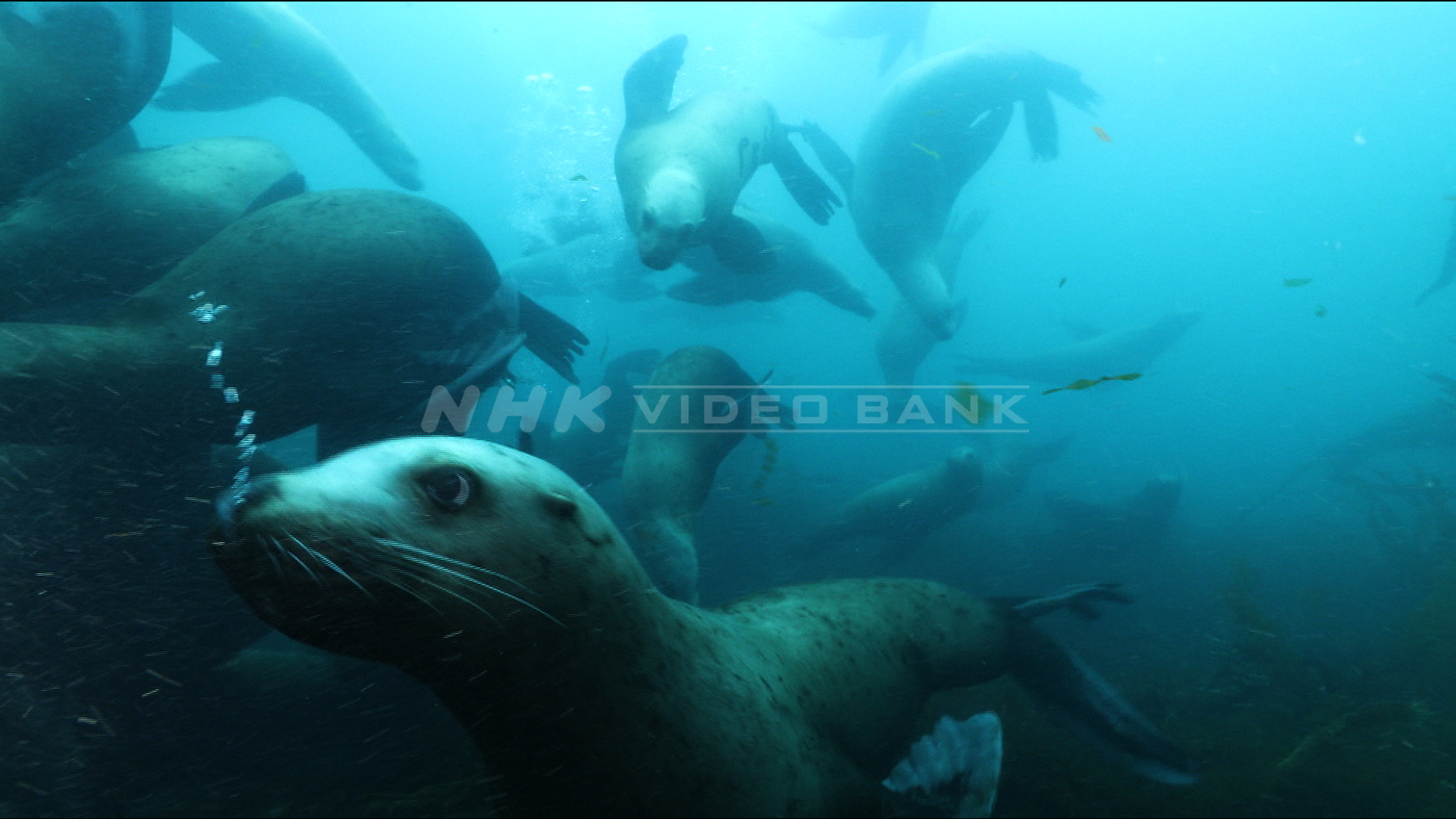 Underwater: northern sea lions flock to a tiny island