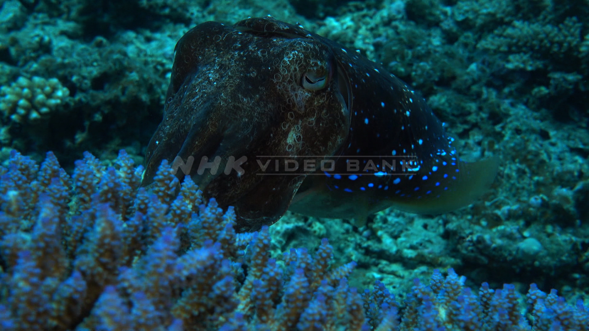 Underwater: broadclub cuttlefish spawning  in the sea off Kerama Islands, Okinawa