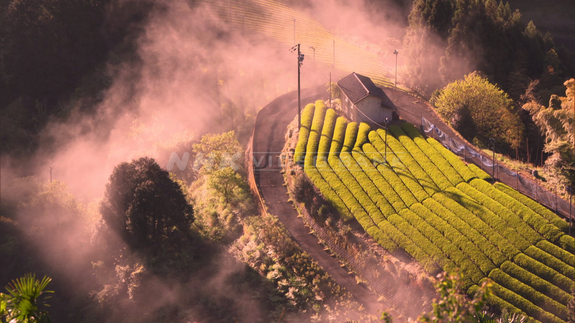 Tea field with covering morning sea clouds