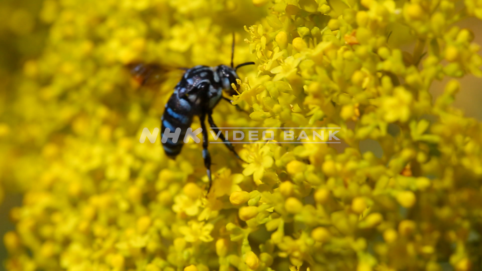 "Slow motion shot: the ""blue bee of happiness"""