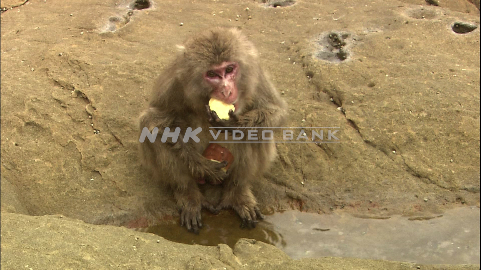 Japanese macaque washing sweet potatoes in the ocean
