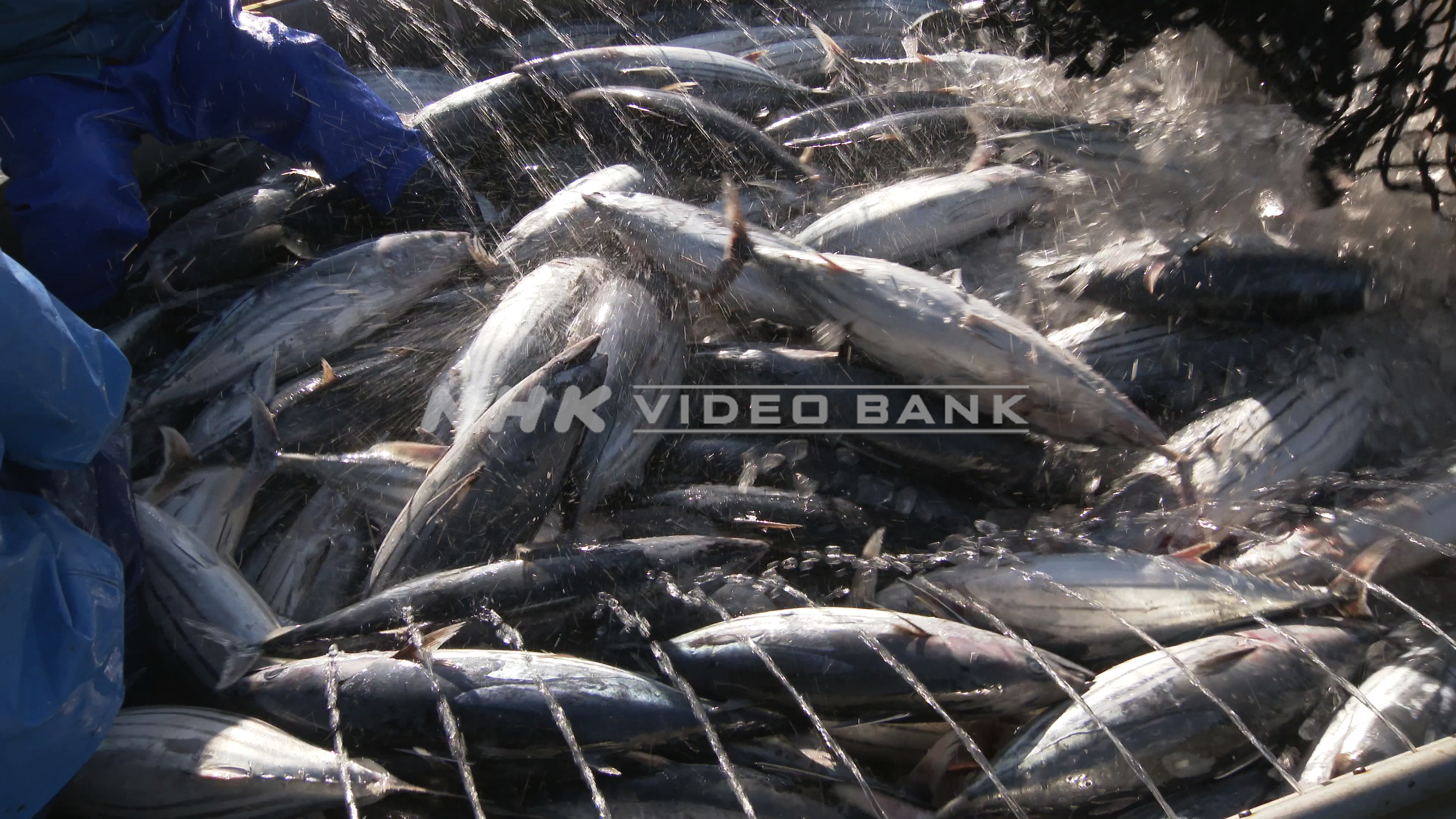 4K: Landing the first Skipjack Tuna