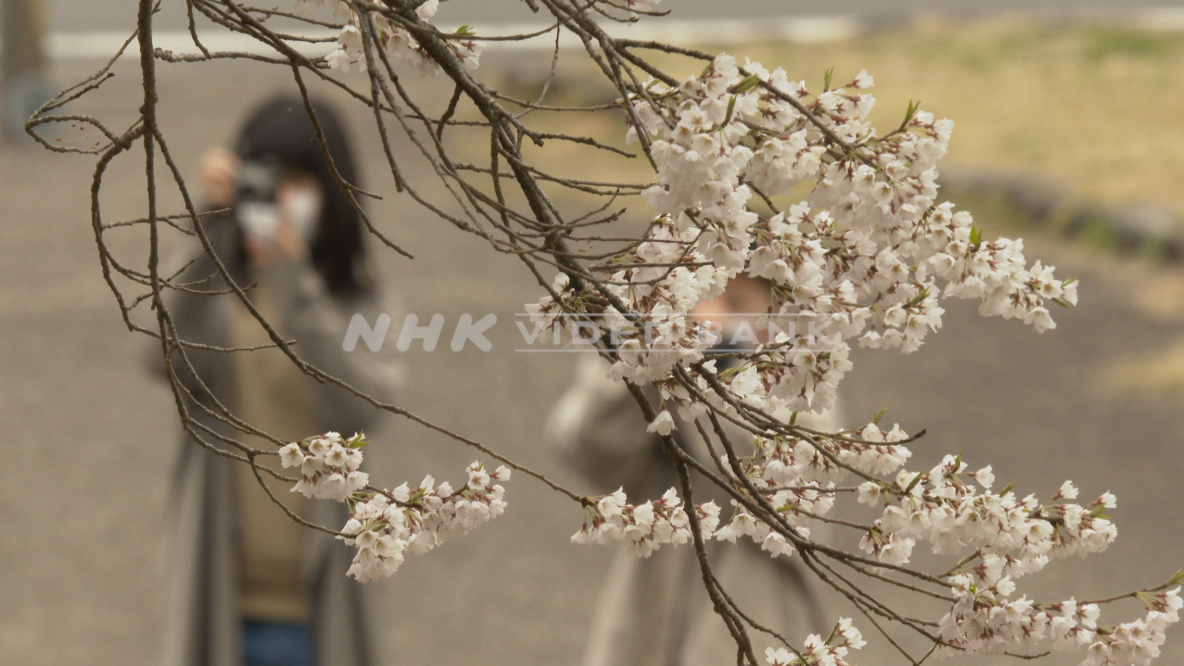 4K: The Usuzumi-zakura Cherry Tree